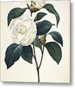 Camellia Japonica, 19th Century Metal Print by Science Photo Library
