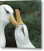 Campbell Albatrosses Courting Campbell Metal Print by Tui De Roy