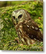 Canada's Smallest Owl - Saw Whet Owl Metal Print by Inspired Nature Photography Fine Art Photography