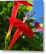 Cardinal Climber Flowers Metal Print by Christina Rollo