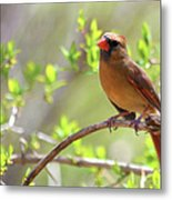 Cardinal In Spring Metal Print by Sandi OReilly