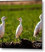 Cattle Egrets Metal Print by Robert Bales