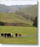 Cattles At Fernandez Ranch California - 5d21062 Metal Print by Wingsdomain Art and Photography
