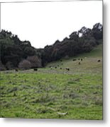 Cattles At Fernandez Ranch California - 5d21104 Metal Print by Wingsdomain Art and Photography