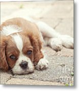 Cavalier Puppy Metal Print by Kay Pickens