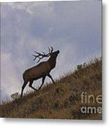 Challenge Of The Bull Elk Metal Print by Sandra Bronstein