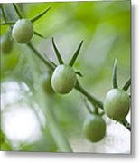Cherry Tomatoes Metal Print by Kay Pickens