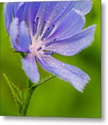 Chicory With Morning Dew Metal Print by Anthony Heflin