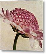 Chrysanthemum Domino Pink Metal Print by John Edwards