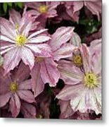 Clematis First Lady Metal Print by Ros Drinkwater
