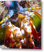 Close-up View Of A Mantis Shrimp Metal Print by Steve Jones