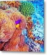 Clown Fish Swimming Near Colorful Corals Metal Print by Anna Omelchenko