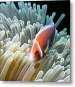 Clownfish 9 Metal Print by Dawn Eshelman