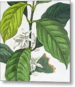Coffea Arabica Metal Print by Pancrace Bessa