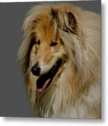 Collie Dog Metal Print by Linsey Williams