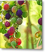 Colorful Grapes Metal Print by Peggy Collins