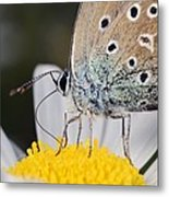 Common Blue Butterfly Metal Print by Science Photo Library