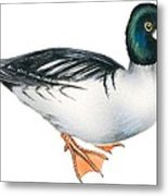 Common Goldeneye  Metal Print by Anonymous