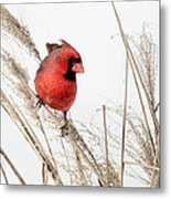 Common Northern Cardinal Square Metal Print by Bill Wakeley