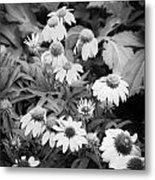 Coneflowers Echinacea Rudbeckia Bw Metal Print by Rich Franco