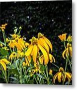 Coneflowers Echinacea Yellow Painted Metal Print by Rich Franco