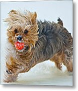 Corky The Yorky Metal Print by Don Wolf