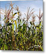 Corn Production Metal Print by Carlos Caetano