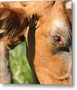 Cow Closeup 7d22391 Metal Print by Wingsdomain Art and Photography