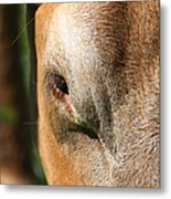 Cow Closeup 7d22397 Metal Print by Wingsdomain Art and Photography