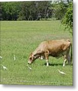 Cow Grazing With Egret Metal Print by Charles Beeler