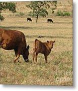 Cows In The Pasture Metal Print by Maureen J Haldeman