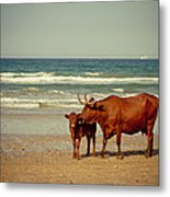 Cows On Sea Coast Metal Print by Raimond Klavins