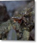 Crab In Mangrove Forest In Los Haitises National Park Dominican Republic Metal Print by Andrei Filippov