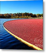 Cranberry Harvest In New Jersey Metal Print by Olivier Le Queinec