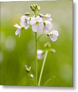 Cuckooflower Metal Print by Anne Gilbert