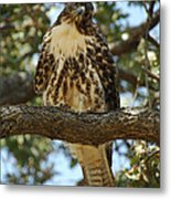 Curious Redtail Metal Print by Donna Blackhall
