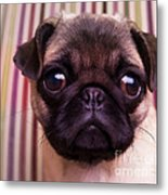 Cute Pug Puppy Metal Print by Edward Fielding