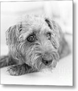 Cute Pup On Watch Metal Print by Natalie Kinnear