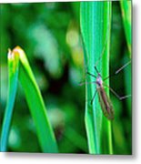 Daddy Long Legs  Metal Print by Toppart Sweden