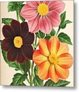 Dahlia Coccinea From A Begian Book Of Flora. Metal Print by Philip Ralley