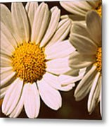 Daisies Metal Print by Chevy Fleet