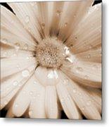 Daisy Dream Raindrops Sepia Metal Print by Jennie Marie Schell