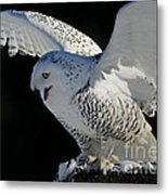 Destiny's Journey - Snowy Owl Metal Print by Inspired Nature Photography Fine Art Photography