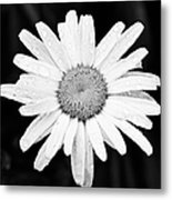 Dew Drop Daisy Metal Print by Adam Romanowicz