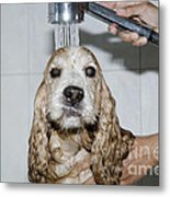 Dog Taking A Shower Metal Print by Mats Silvan