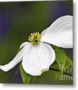 Dogwood Blossom - D001797 Metal Print by Daniel Dempster