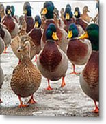 Duckorama Metal Print by Bob Orsillo