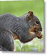 Eastern Fox Squirrel Metal Print by Brandon Alms