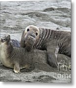 Elephant Seals Mating Metal Print by Mark Newman