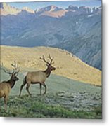 Elk Surprise.. Metal Print by Al  Swasey